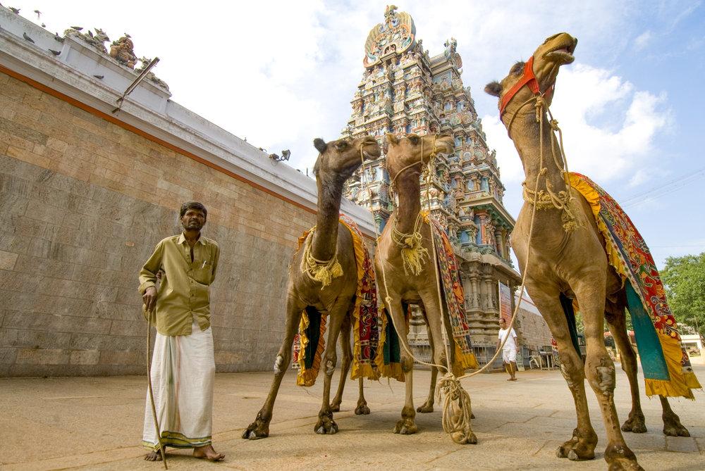 3.   Man, temple & camels.jpg