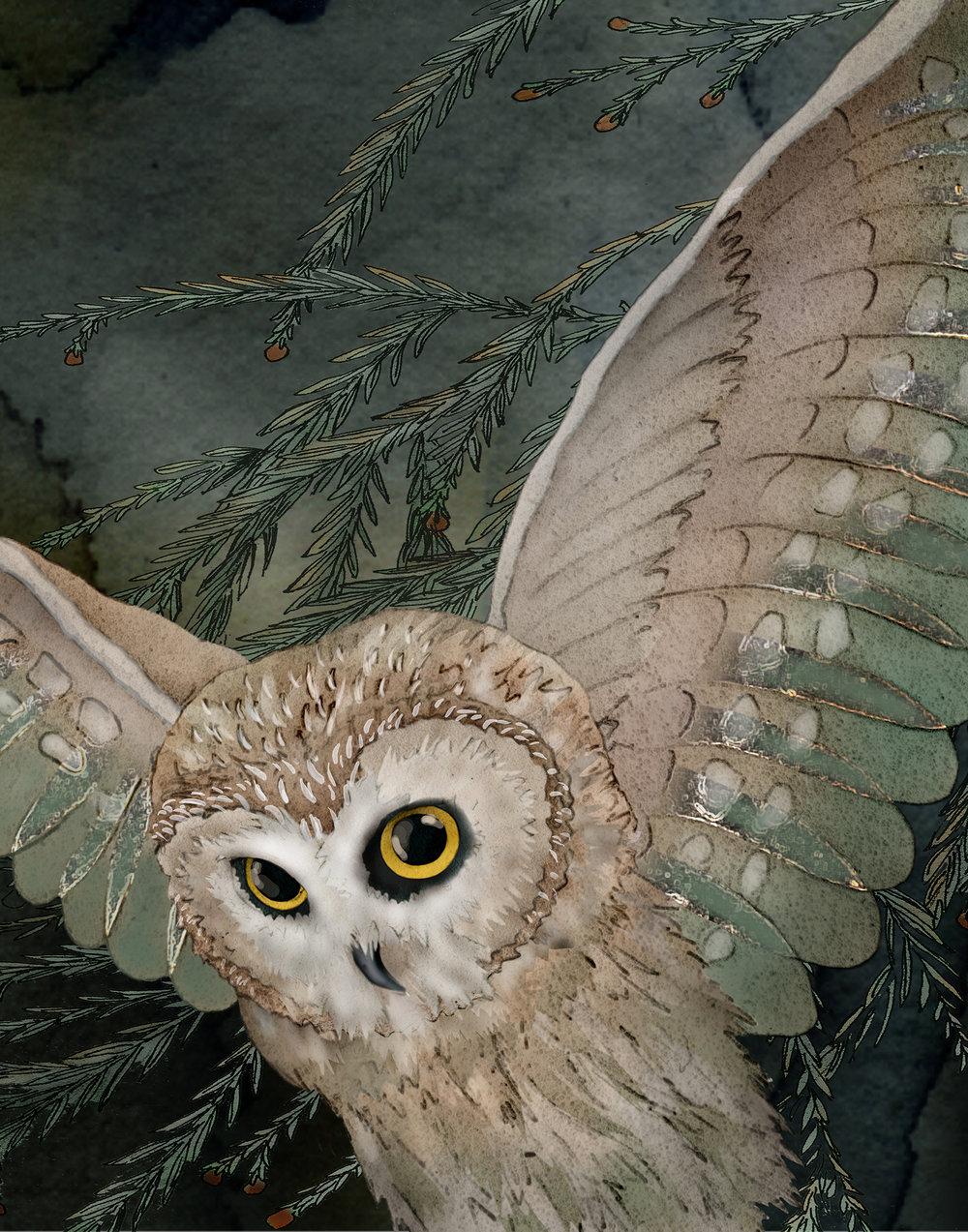 Saw Whet Owl 2