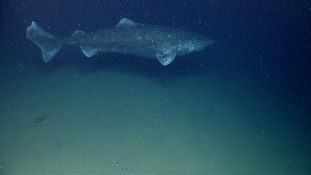The Greenland Shark