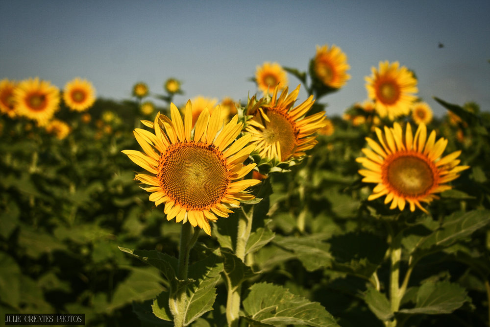 Sunflowers3.jpg