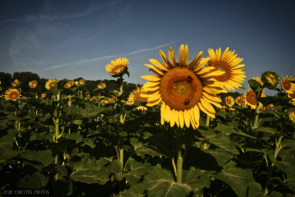 Sunflowers4.jpg