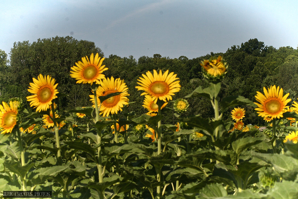 Sunflowers7.jpg
