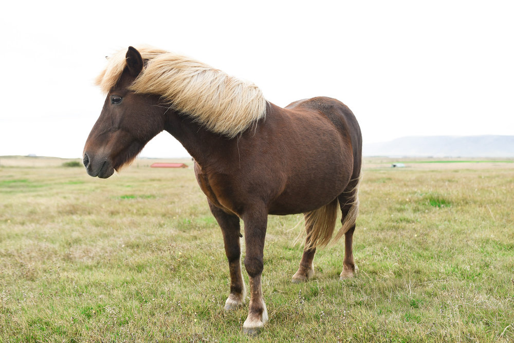 Icelandic horses are super friendly and will walk right up to you.