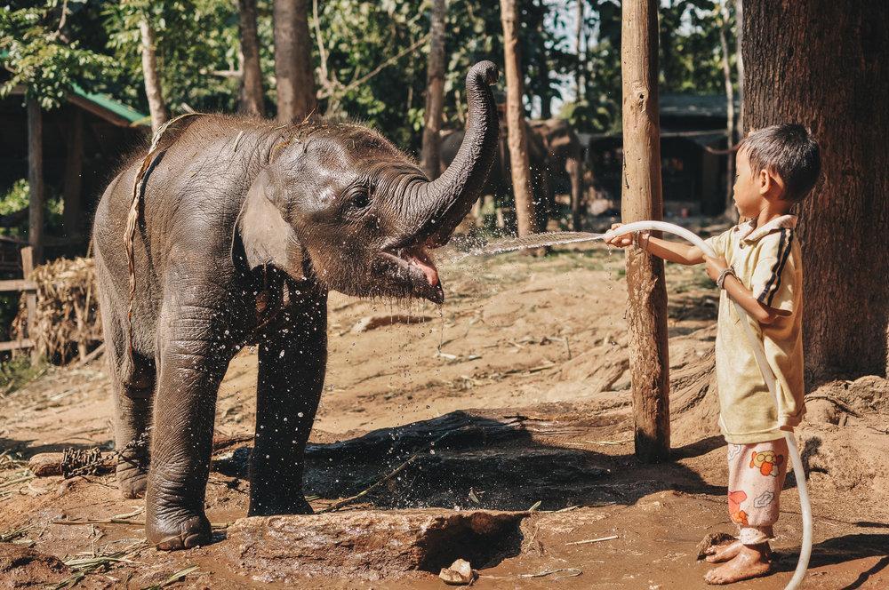 Thai Elephant 1.jpg
