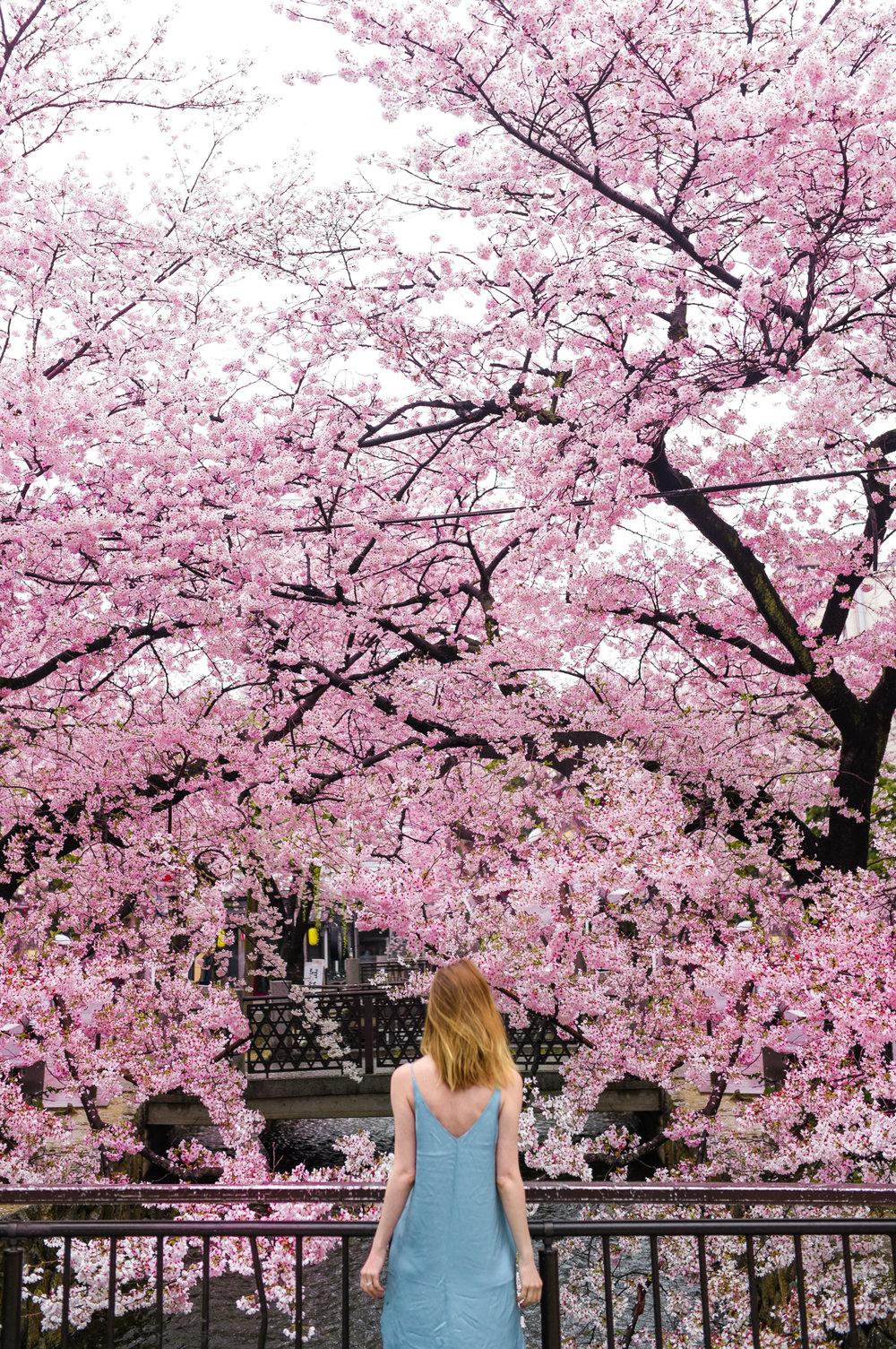 kyoto cherry blossom zorymory humminglion