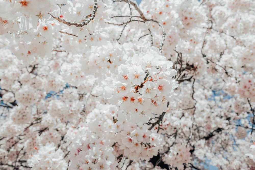 shinjuku cherry blossom zorymory humminglion