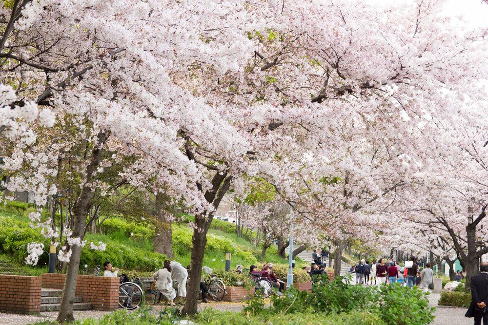 Kema Sakuranomiya.jpg