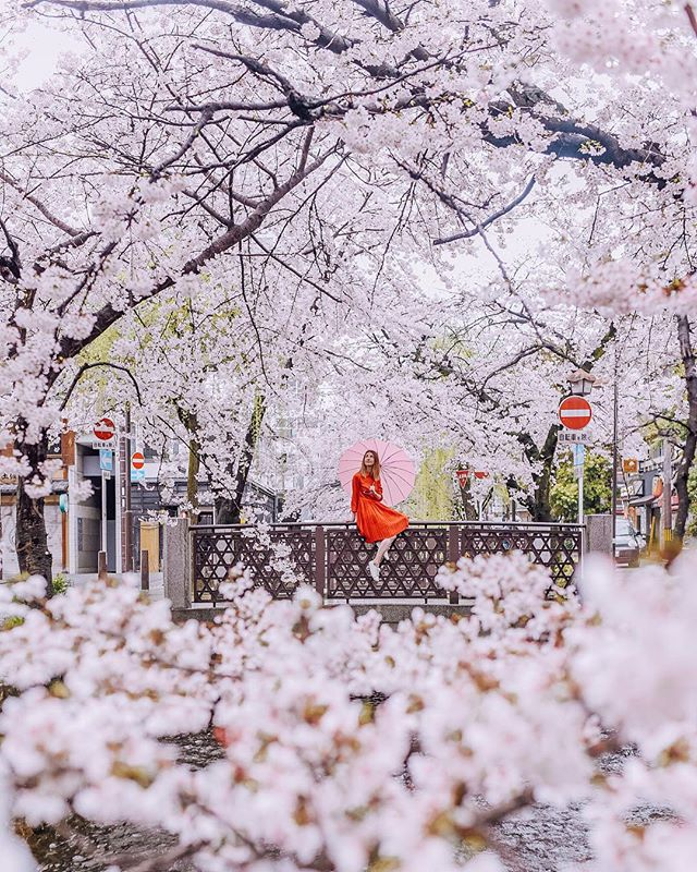This umbrella is not a prop 🙈 it actually rains quite a bit during cherry blossom season (something I was not prepared for) and if you are planning to visit make sure to pack warm cute layers and a colorful umbrella ☂🌸 #henryzoryinjapan