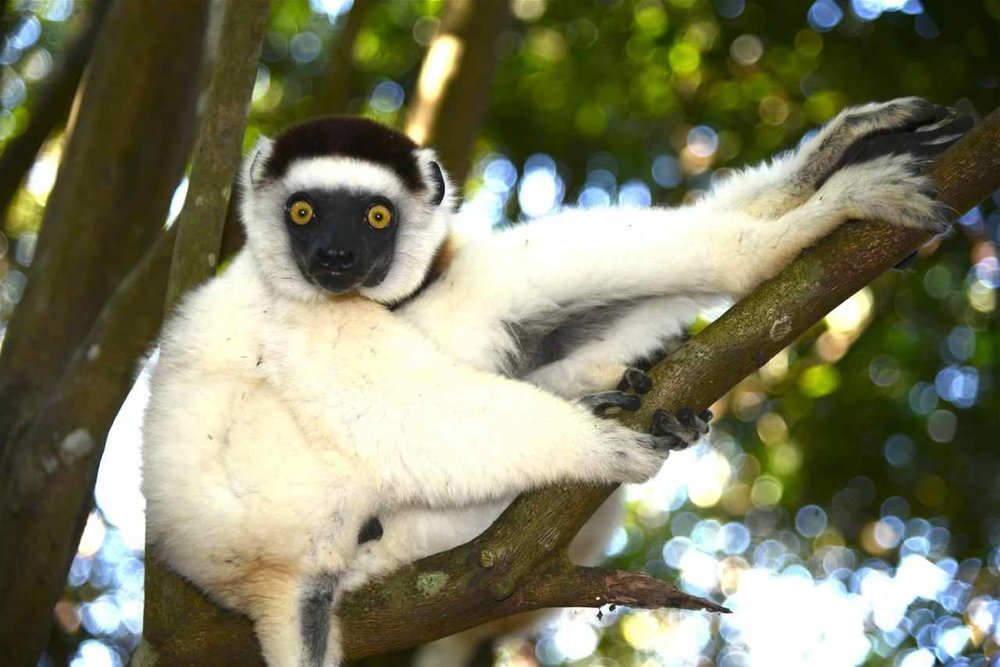 """""""Sifaka""""  Lemurs of Madagascar"""