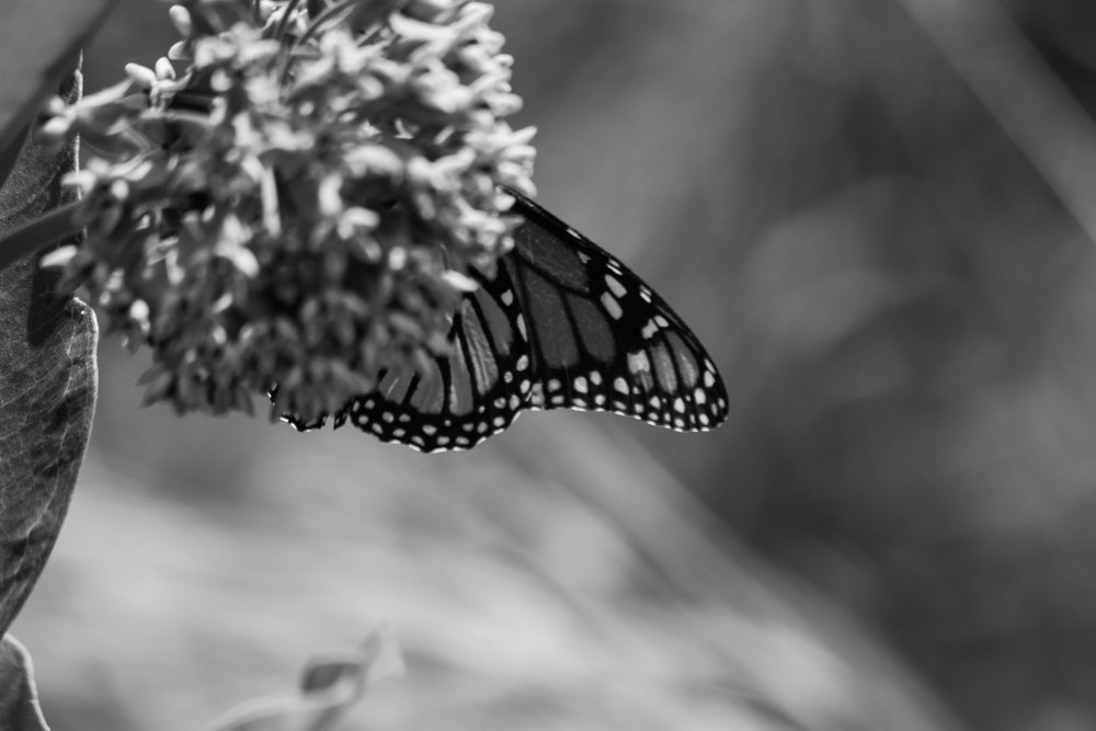 Viceroy (Limenitis archippus) Glacial Park 207.jpg