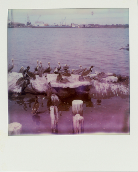 Pelicans rest near the docks at Katie's Seafood Market in Galveston, Texas. (Dominic Bracco II / Prime for WWF Magazine)