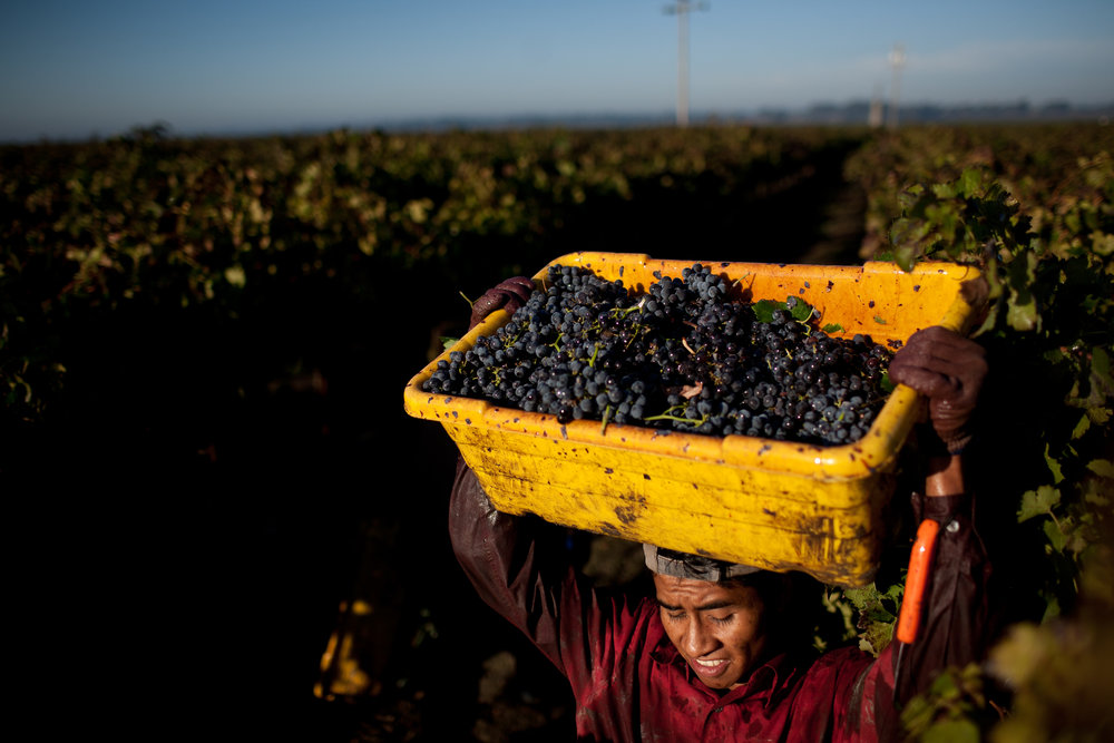 Grapes are harvested in the Bogle vineyard near Clarksburg, California.