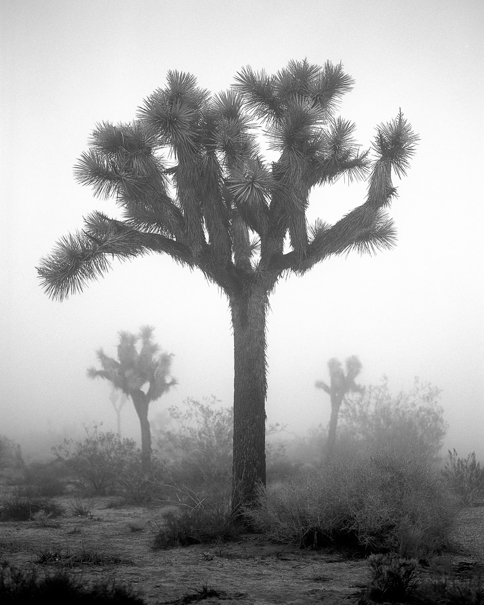 A Joshua Tree in Joshua Tree National Park, CA.