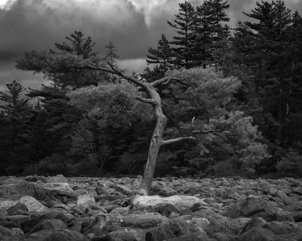 A black and white photograph by fine artist Cody Schultz, this high-contrast scene depict a lone tree growing within a boulder field in eastern Pennsylvania. In the background, almost-black pine trees grow tall, touching a stormy, dramatic sky. The light from behind the camera grazes the lone tree, highlighting it from the rest of the scene.