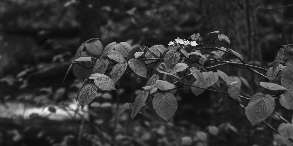 A black and white photograph by fine artist Cody Schultz, In Bloom shows a simple panoramic scene of a single cluster of flowers growing upon a branch, not far from a rushing waterfall. The leaves shine a beautiful metallic gray, complimenting the bright white of the flower, while the background is almost entirely out of focus.