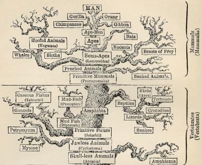Tree_of_life_by_Haeckel crop2.jpg