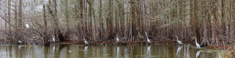 The Cypress Island Preserve/Lake Martin rookery is always full of birds of all varieties. However, it is not that common to find so many lined up along the banks at one time.  I quickly shot a variety of pictures in hopes of being able to make a panoramic. I was fearful one or more would fly off and cause a problem in stitching. But they were all very patient and calm. Almost as though they were posing for a family portrait. I  stitched  6  images to capture this magnificent scene at Lake Martin in Breaux Bridge, LA. I shot this scene with a Canon 7D and a EF-S 18-200 lens. ISO was set at 1600. Shutter speed was 1/500 with an f stop of f/5.6.