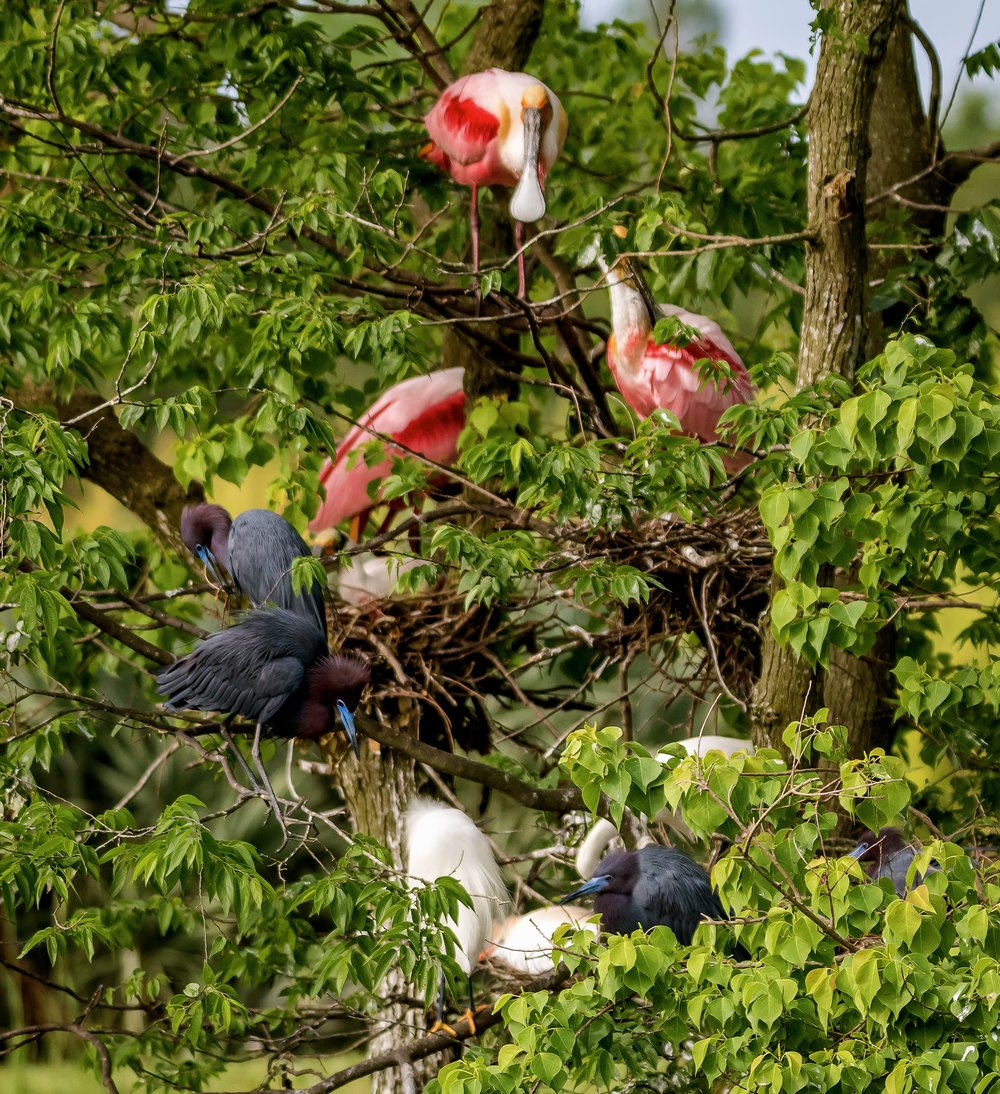 A tree filled with little blue herons, cattle egrets, roseate spoonbills and egrets at Rip's Rookery on Jefferson Island in New Iberia, La. The tree is a condominium for the birds as the build their nests waiting for the new arrivals.  I made this photo with the Canon 7D Mark ii and the Tamron 150-600 g2 lens. My ISO was 800. The lens was zoomed to 205mm with a f/5 setting. Shutter speed was set at 1/2000.
