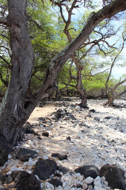 Kiawe-Trees-La-Perouse-Bay.jpg