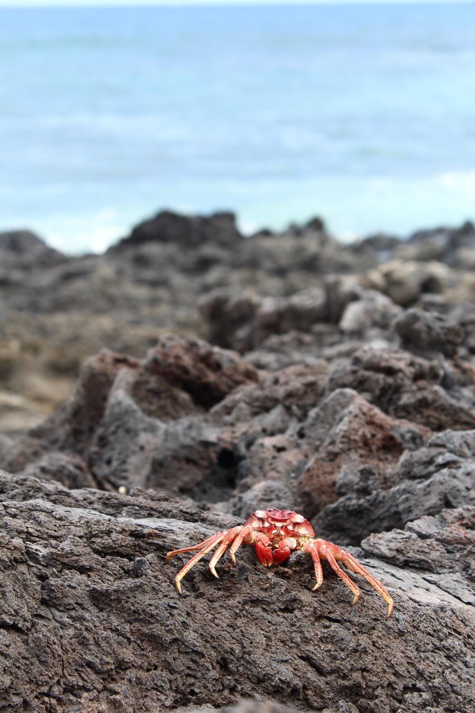 Crab-on-rocks-Maui.jpg