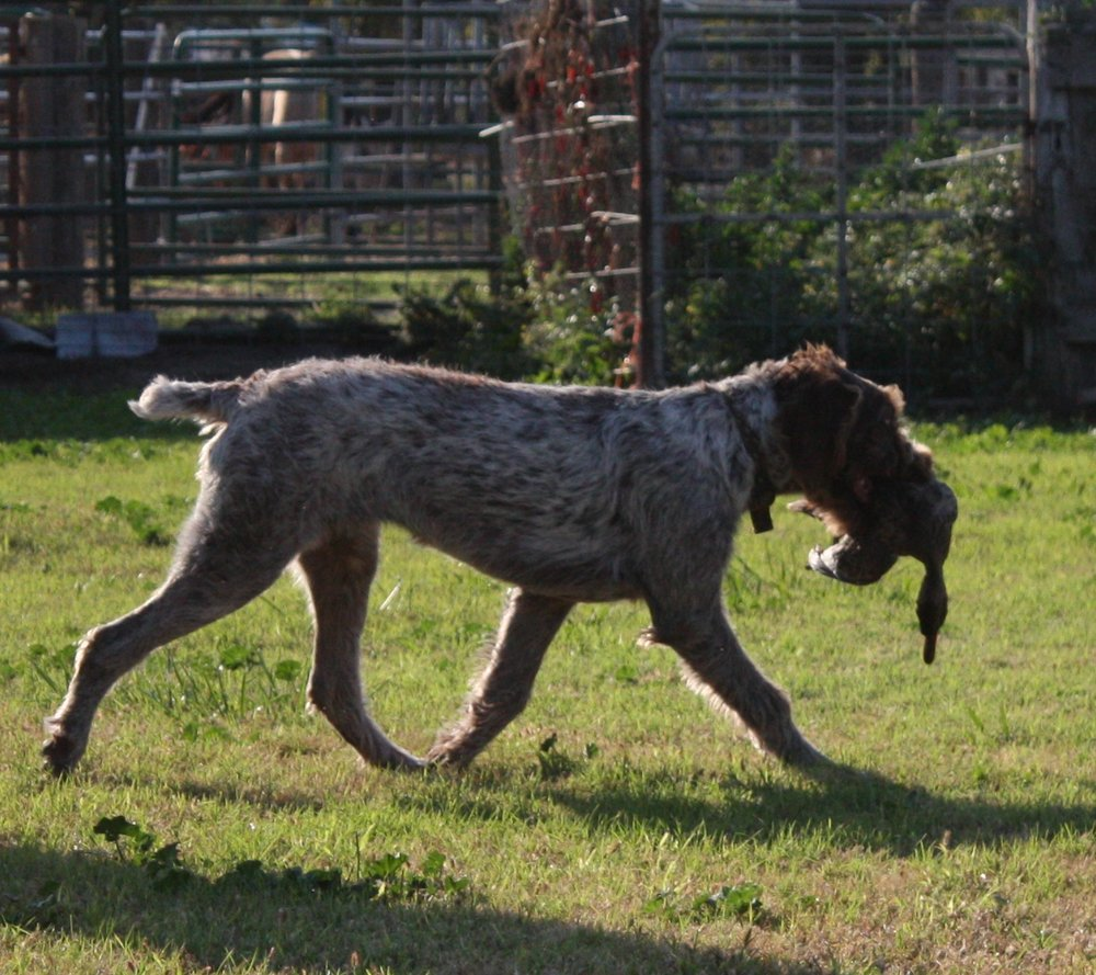 Pictures — German Wirehaired Pointers