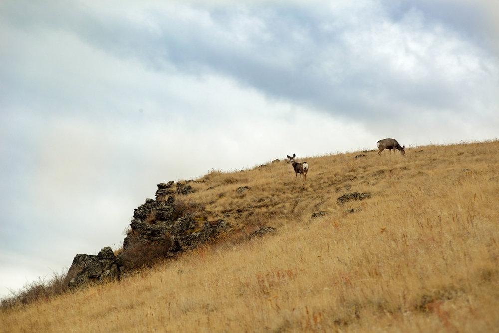 Deer at Harsen Butte