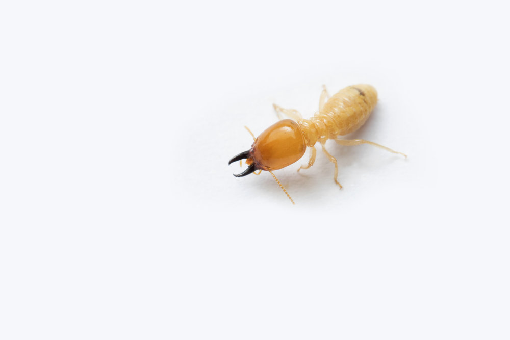 Termites - Our effective treatment plan is designed to get rid of termites.We'll assess the severity, recommend a treatment plan and send you reminders so you won't forget.