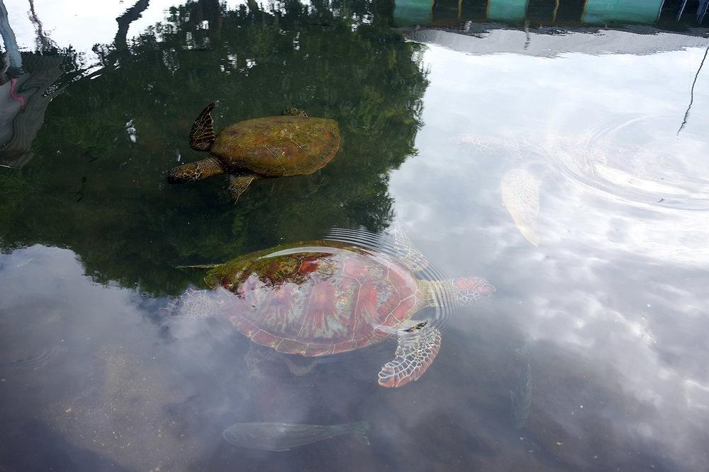 Swimming with the turtles  in Satoalepai village, Savai'i.