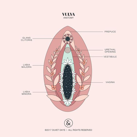 vulva anatomy illustration