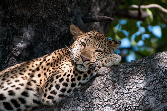 africa photographic safari Botswana leopard