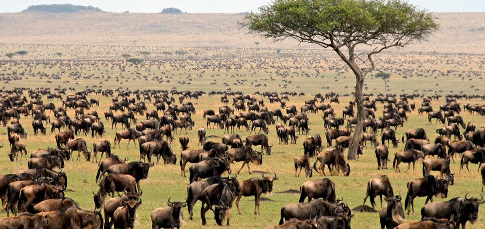 tanzania-serengeti-wildebeest.jpg