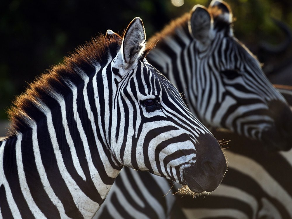 Africa_Photographic_Safari_2zebra.jpg