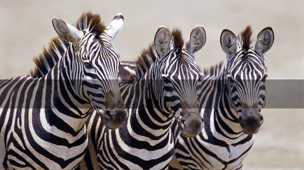 Africa Safari     TANZANIA'S SERENGETI      MORE INFO