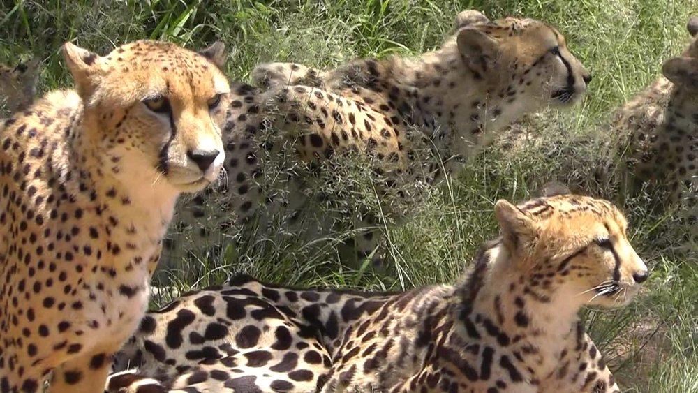 africa-photo-safari-cheetah1.jpg