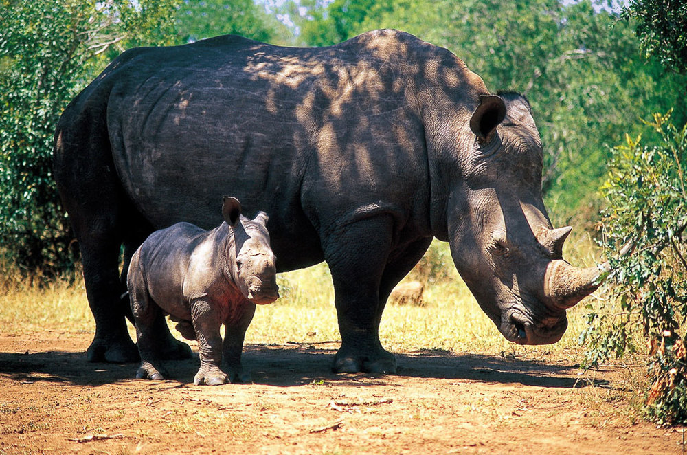 Day: 2,3,4,5: PILANESBERG NATURE RESERVE - Pilanesberg Game Reserve is a sanctuary for various game including the Big Five - rhino, lion, elephant, leopard and buffalo. Situated inside the eroded crater of an extinct volcano in the North West province.