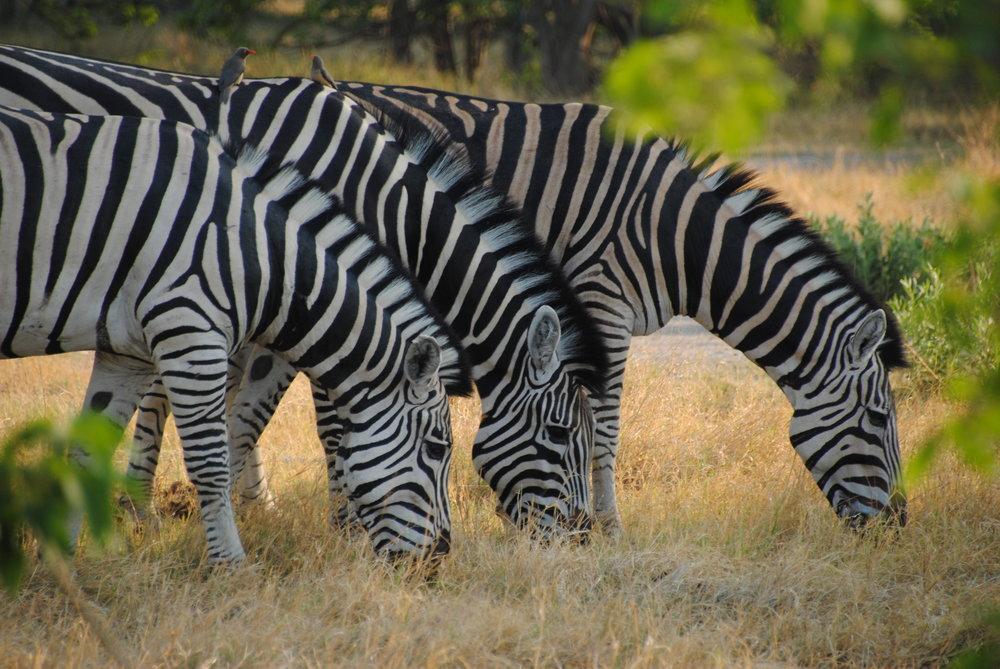 africa photo  moremi6.jpg