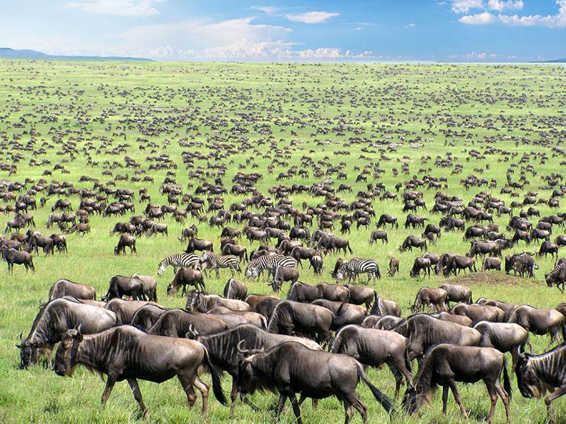 Day 6 & 7: SERENGETI - The Great Wildebeest Migration - the annual migration of giant herds of grazers across Northern Tanzania and Kenya is a truly spectacular event. Over two million wildebeest, zebras and gazelles move through the Serengeti and Masai Mara ecosystems in search of green pasture, in a regular pattern.