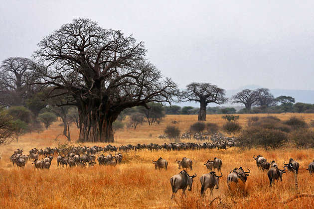 Day 2 & 3: TARANGIRE NATIONAL PARK - Tarangire National Park located inNorthern Tanzania. It is most famous for its elephant migration, birding and authentic safari atmosphere.