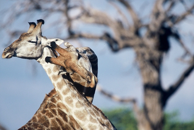 africa photo safari botswana camp18.jpg