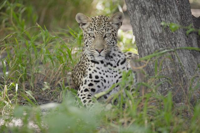 africa photo safari botswana camp16.jpg
