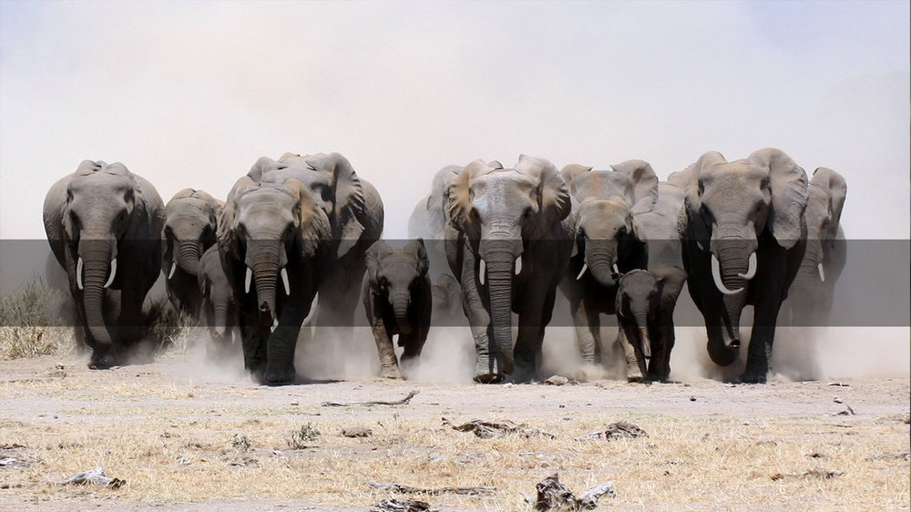 Botswana Safari       BOTSWANA's    Elephants      MORE INFO