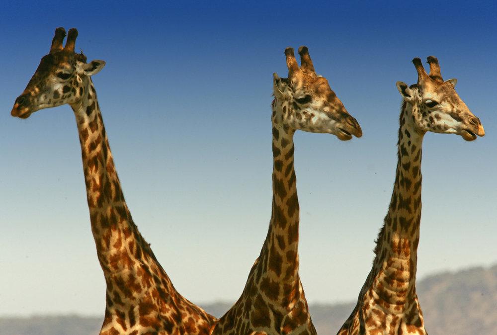 africa safari masai mara 21.jpg