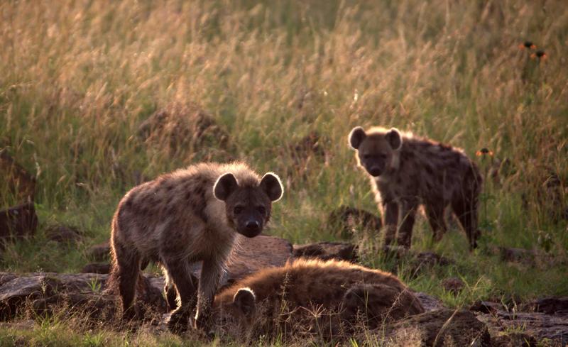 safari masai mara113.png
