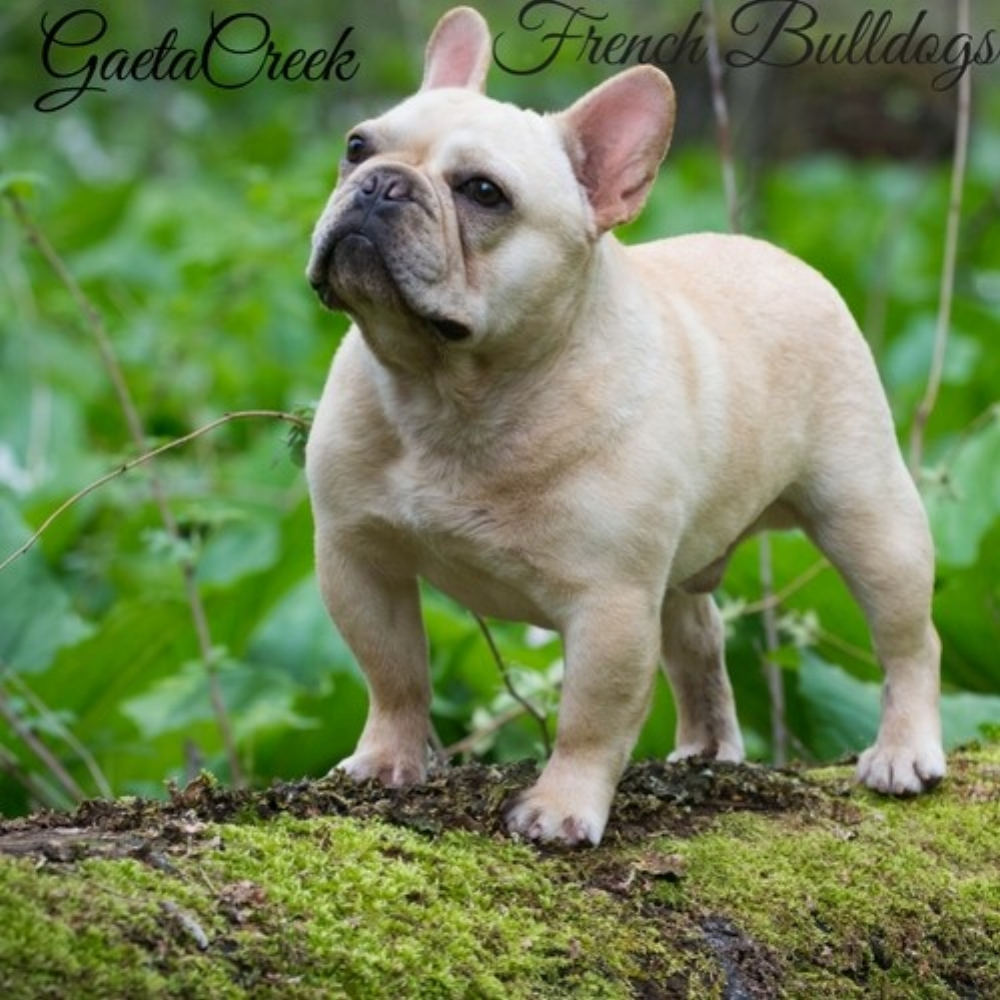 Gaeta Creek French Bulldogs