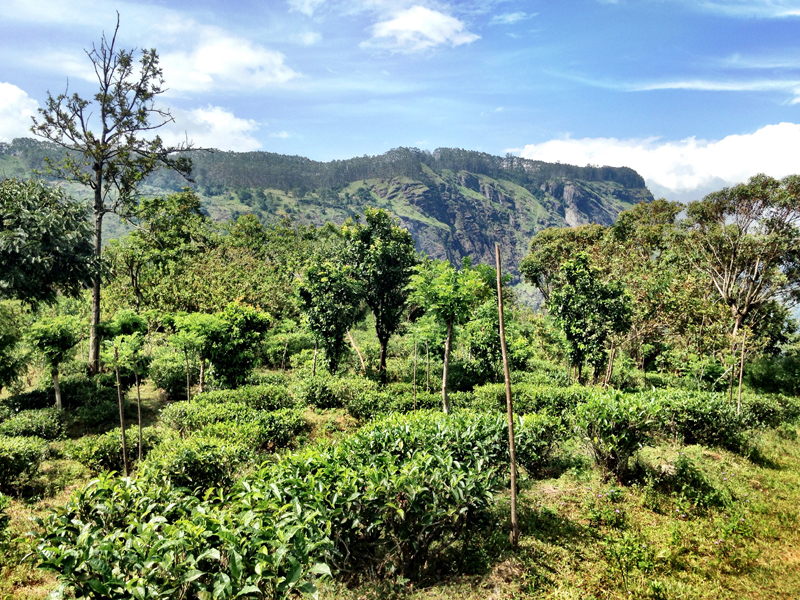 Amba Estate is a working organic tea farm.