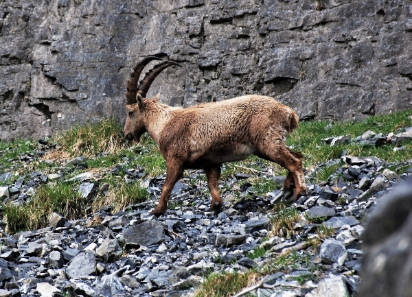 A male bouquetin (ibex)