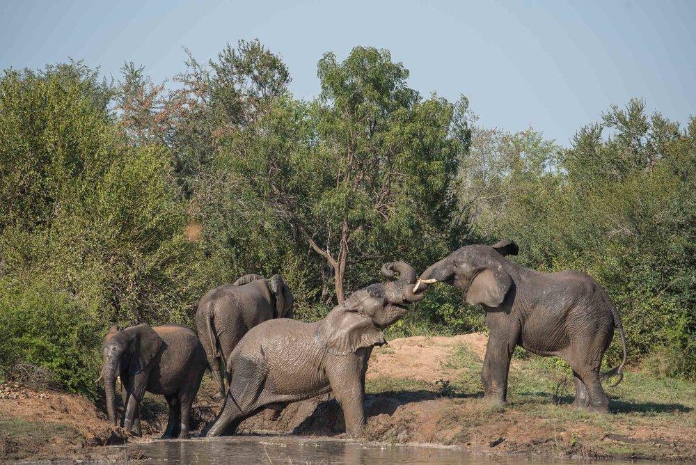 Elephants Tusling