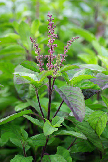 Holy-Basil-Leaf-tulsi-occimum_tenuiflorum2.png