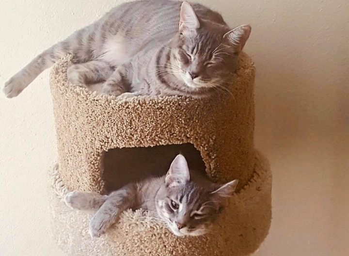 """Tesla """"Tes"""" (top) and Poe (Bottom) are the feline family members of the Steffens/Lucido clan. Tes likes to wander outside where Poe likes to cuddle up with her little human Kai and watch shows."""