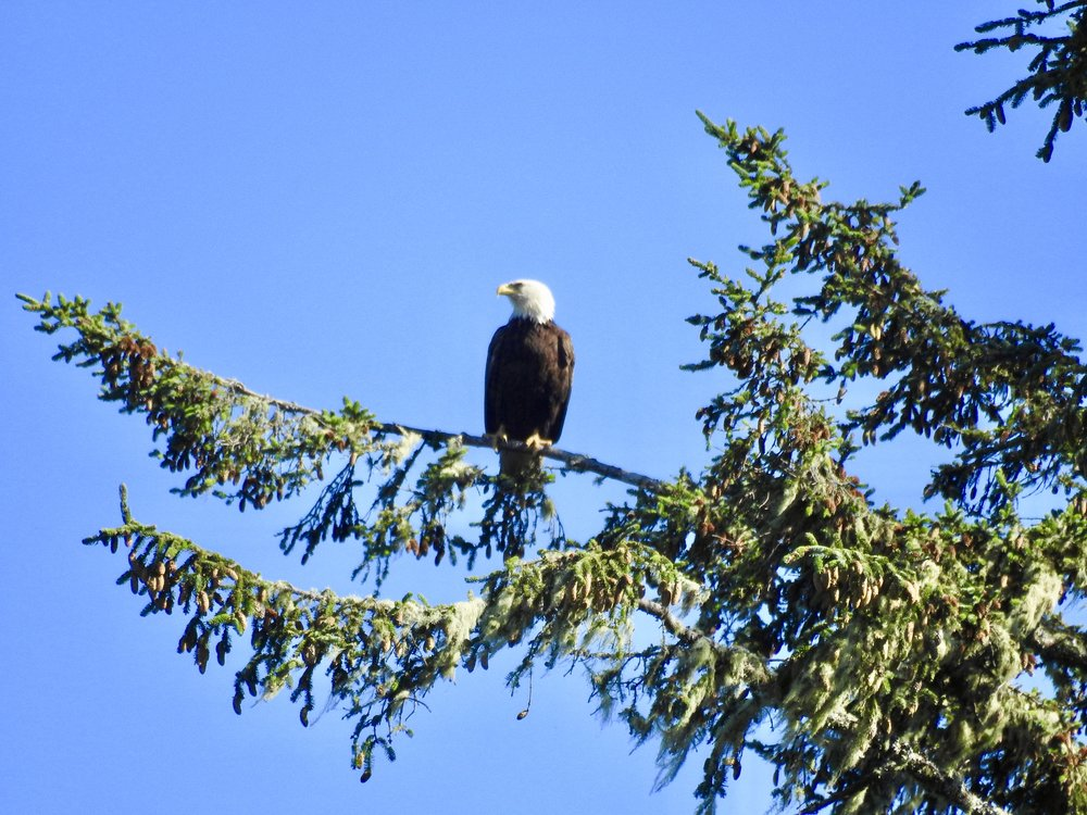 Spotting a bald eagle was pretty awesome, there is plenty of wildlife in Tofino!